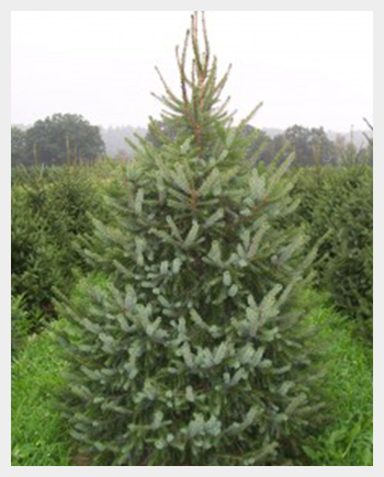 Serbian Spruce – Brighton and Hove Christmas Trees